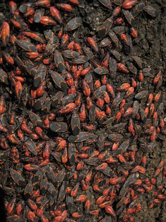 Tree Pests Box Elder Bugs