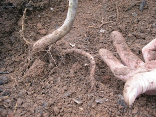 feeder roots, cercis canadensis, bare root tree