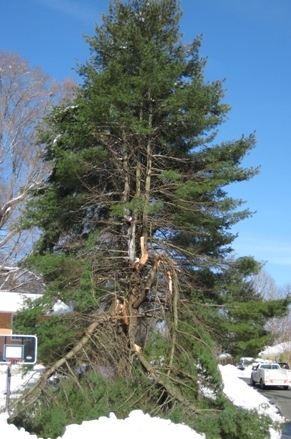 White Pine winter pruning, storm damage