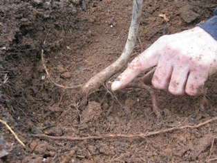 transplanting bare root tree